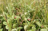 Крупная полевая клубника на холмах правобережья Свияги (1000х667, 112Kb)